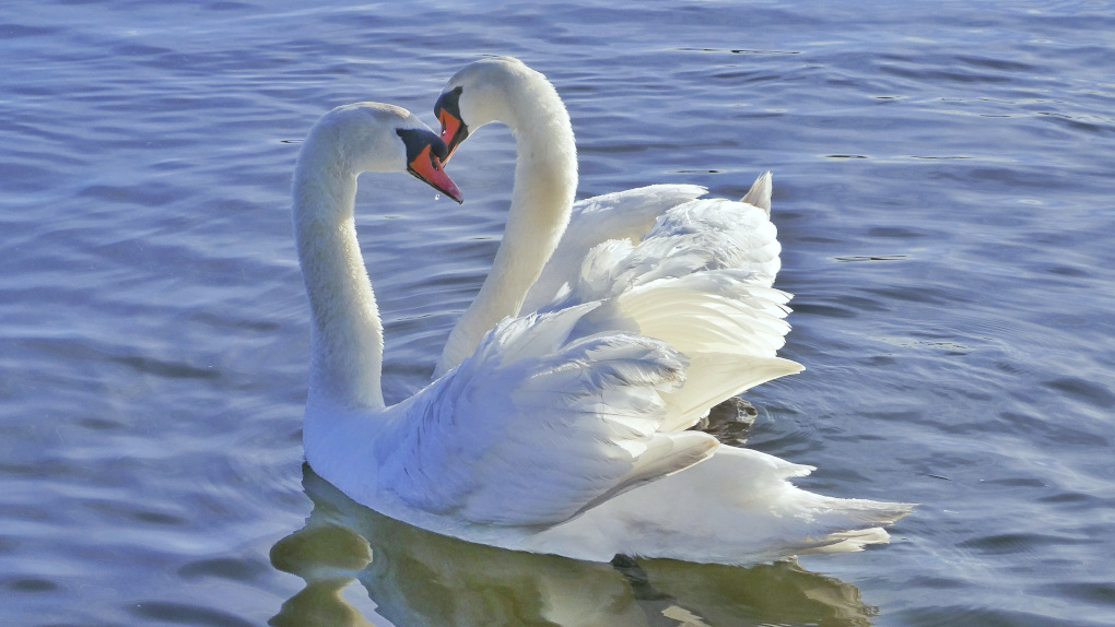 swans embracing in water